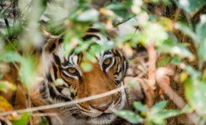 Tigre en Bandhavgarh, Safari India. Indika Viajes